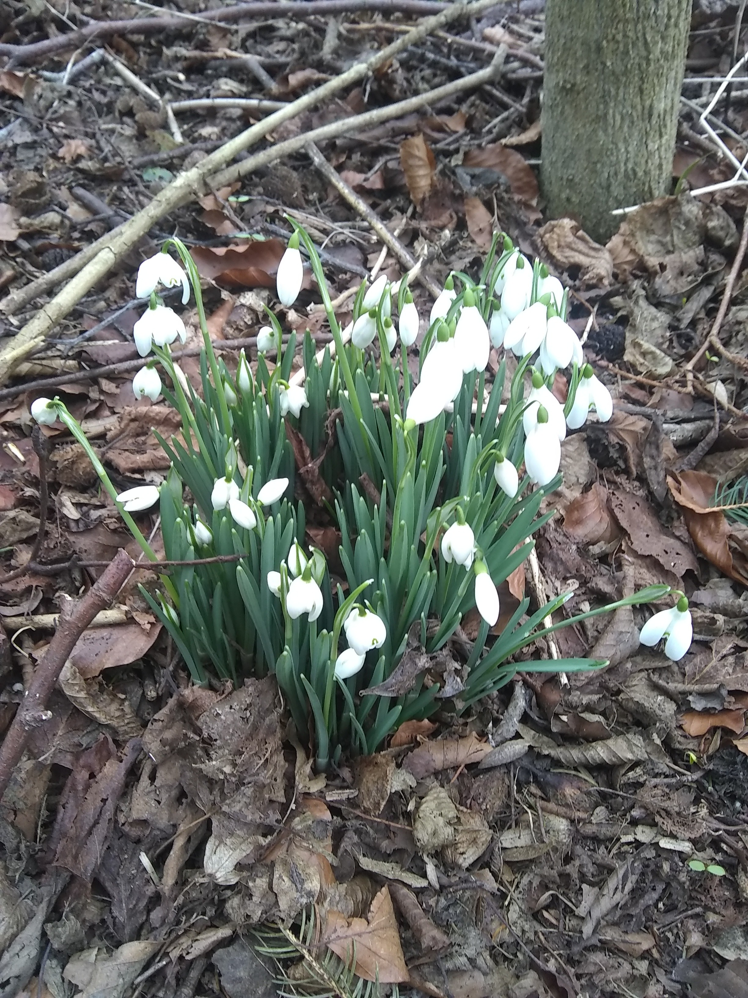 Snowdrops at Scotswood Natural community garden.